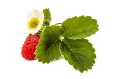 Fresas frescas con la flor y las hojas Imagen de archivo libre de regalías