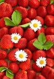 Fresas frescas con las flores de la margarita Fotos de archivo libres de regalías
