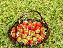Fresas frescas de la granja Imagen de archivo