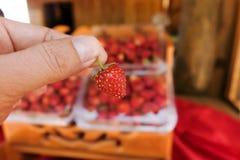 Fresas frescas a disposición Imagen de archivo libre de regalías