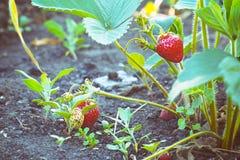 Fresas frescas en el jardín Fotos de archivo