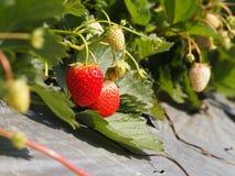 Fresas frescas en granja Fotos de archivo libres de regalías