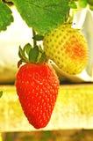 Fresas frescas en la granja de la fresa Foto de archivo libre de regalías