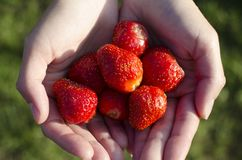 Fresas frescas en manos del ` s de la muchacha Imagen de archivo