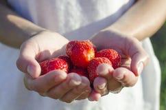 Fresas frescas en manos del ` s de la muchacha Fotografía de archivo