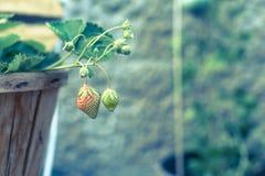 Fresas inmaduras en un florero de madera Imágenes de archivo libres de regalías