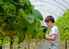 Fresas jovenes de la cosecha del muchacho Imagen de archivo libre de regalías