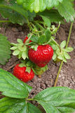 Fresas maduras Imagen de archivo