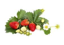 Fresas maduras de la frescura del jardín con la flor aislada imagen de archivo libre de regalías