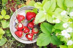 Fresas maduras dulces perfectas en fondo de madera Foto de archivo