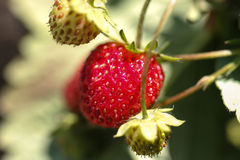 Fresas maduras e inmaduras Imagen de archivo