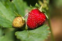 Fresas maduras e inmaduras Imagen de archivo libre de regalías
