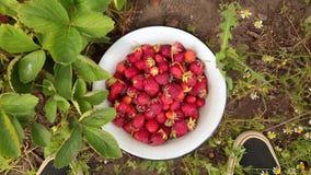 Fresas maduras frescas en el jardín Tierra, hierba verde y pies del varón almacen de metraje de vídeo