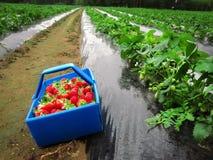 Fresas maduras rojas en la cesta azul Imagen de archivo libre de regalías