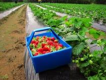 Fresas maduras rojas en la cesta azul Foto de archivo