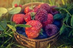 Fresas maduras y frambuesas rojas, mintiendo en un plato de madera tallado con gotas de la lluvia, el substrato auténtico de la h Fotos de archivo libres de regalías
