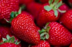 Fresas perfectas frescas, maduras, dulces como fondo Foto de archivo libre de regalías