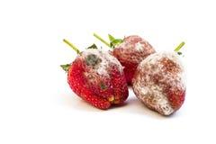 Fresas putrefactas fotos de archivo libres de regalías