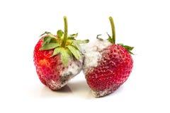 Fresas putrefactas, molde aislado en el fondo blanco, imágenes de archivo libres de regalías