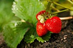 Fresas que crecen en el suelo del jardín Imagen de archivo
