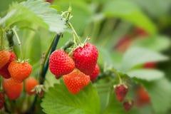 Fresas que crecen en una planta imagen de archivo libre de regalías