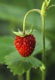 Fresas rojas Fotografía de archivo