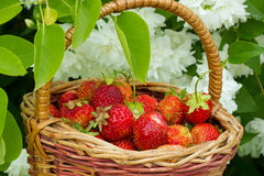 Fresas rojas Imágenes de archivo libres de regalías
