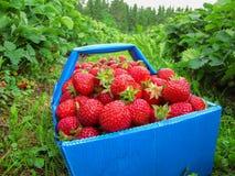 Fresas rojas en la cesta azul Imagenes de archivo