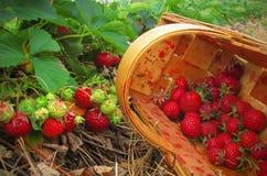 Fresas rojas en una cesta de madera Foto de archivo libre de regalías