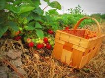 Fresas rojas en una cesta de madera Imagen de archivo