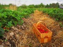 Fresas rojas en una cesta de madera Imagen de archivo libre de regalías