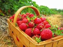 Fresas rojas en una cesta de madera Imagenes de archivo