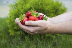 Fresas rojas frescas fotografía de archivo libre de regalías