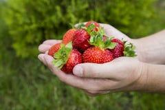 Fresas rojas frescas fotos de archivo libres de regalías