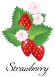 Fresas rojas jugosas maduras aisladas con las hojas y las flores Vector Foto de archivo