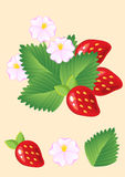 Fresas rojas jugosas maduras con las hojas y las flores Vector Imagenes de archivo