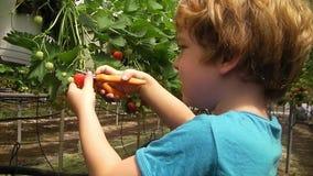 Fresas rojas lindas de la cosecha del niño del pelo en strawberryfield almacen de metraje de vídeo