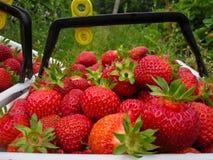 Fresas rojas maduras en una pila grande de cosecha Imagenes de archivo