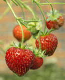 Fresas rojas maduras sanas frescas que crecen en un jardín Foto de archivo