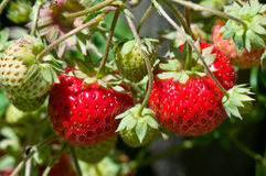 Fresas rojas y verdes fotos de archivo libres de regalías
