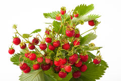Fresas salvajes Imagen de archivo