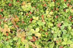 Fresas salvajes Imagen de archivo libre de regalías