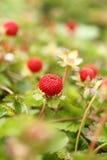 Fresas salvajes Imágenes de archivo libres de regalías