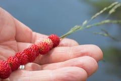 Fresas salvajes atadas en una paja que miente en una mano Fotografía de archivo