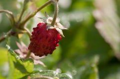 Fresas salvajes en el bosque fotografía de archivo