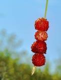 Fresas salvajes en una paja Imágenes de archivo libres de regalías