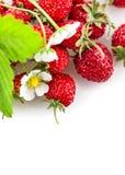 Fresas salvajes frescas de las bayas con la hoja y las flores verdes Fotografía de archivo