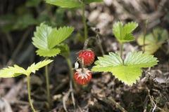 Fresas salvajes y hojas rojas del verde en una madera Fotografía de archivo libre de regalías