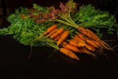 Fresche, agricoltore, le giovani carote con belle cime sul nero hanno dipinto il fondo di legno Immagine Stock