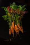 Fresche, agricoltore, le giovani carote con belle cime sul nero hanno dipinto il fondo di legno Immagini Stock